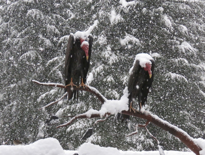 Two life sized turkey vultures